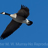 1 Canada Goose in flight