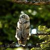 Bubo virginianus: Great Horned Owl