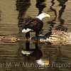 Bald Eagle Dripping water.