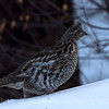 Bonasa umbellus: Ruffed Grouse