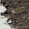 1 Spotted Sandpiper