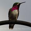 Calliope Humming bird