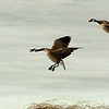 1 Canada Geese landing