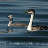 Western Grebe and large chick.