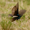 10 Tree Swallows fighting 2