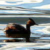 Eared Grebe on glassy water.