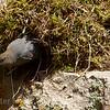 2 Dipper departs nest site