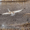1 Sand Hill Crane takes off from nest site