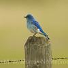 Mountain Blue Bird