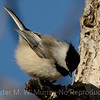 3 Black-capped Chickadee on tree limb