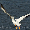 White Pelican takes  off from Yellowstone River