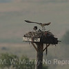 Female Osprey departs as two chics look on.
