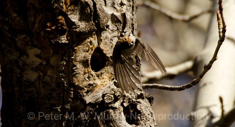 Mt Chickadee flys with nest cavity debris.
