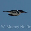 Belted Kingfisher zoooooming