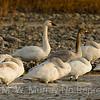 Swans galore at Dailey Lake