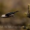Nucifraga columbiana: Clark's Nutcracker. Family, Corvidae. Jays, crows, ravens and magpies.