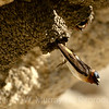 Petrochelidon pyrrhfonata: Cliff Swallow
