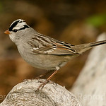 White-crowned Sparrow side view