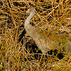 Sandhill Crane in the reeds.
