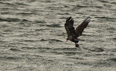 Immature Bald Eagle grabs a Coot.
