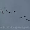 15 Sandhill Cranes