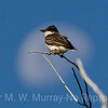 Eastern Kingbird in the moon.