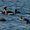5 Red-breasted Mergansers