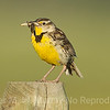 Meadowlark with a nice yummy bug.