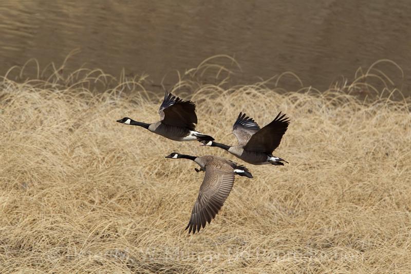 Canada Geese three