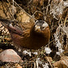 3 Gray-crowned Rosy-Finch 2