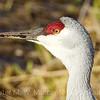 Sand Hill Crane close up 1