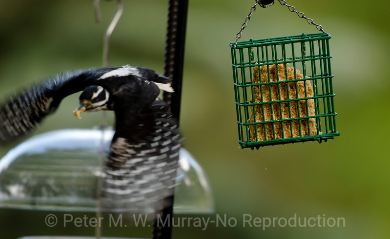 Downy female departs a suet pack