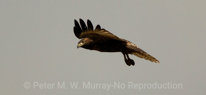 Swainson Hawk in hover mode.