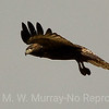 6 Swainson Hawk Juve hovers for breakfast
