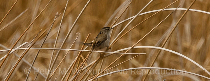 Marsh Wren on April 21, 2018...first at Dailey Lake.