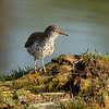Spotted Sandpiper on a log.