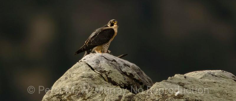 Birds of Paradise Valley Montana