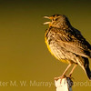 Meadowlark Chick.