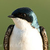 Close up detail of Tree Swallow.