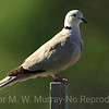 Streptopelia decaocto: Eurasian Collared-Dove