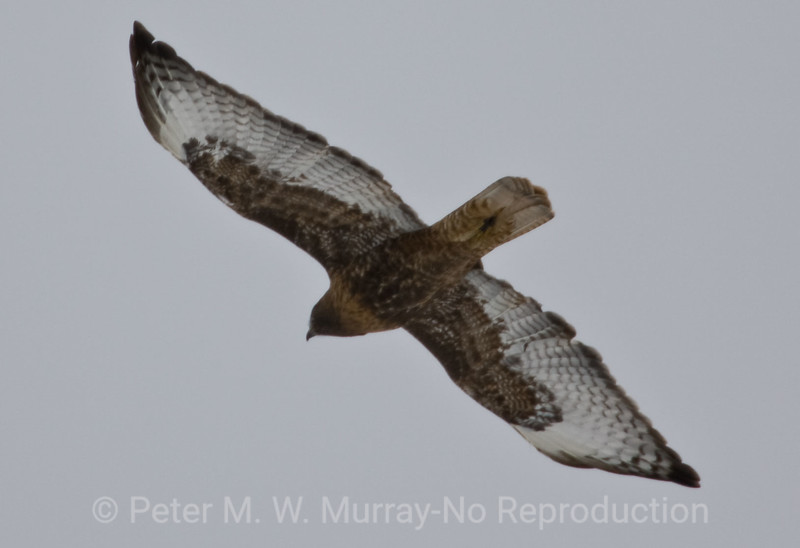 Red-Tailed-Hawk-soaring-high-above-Lamar-Valley
