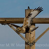Rough-legged Hawk  takes off