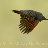 Northern Flicker , Red-shafted Flicer.