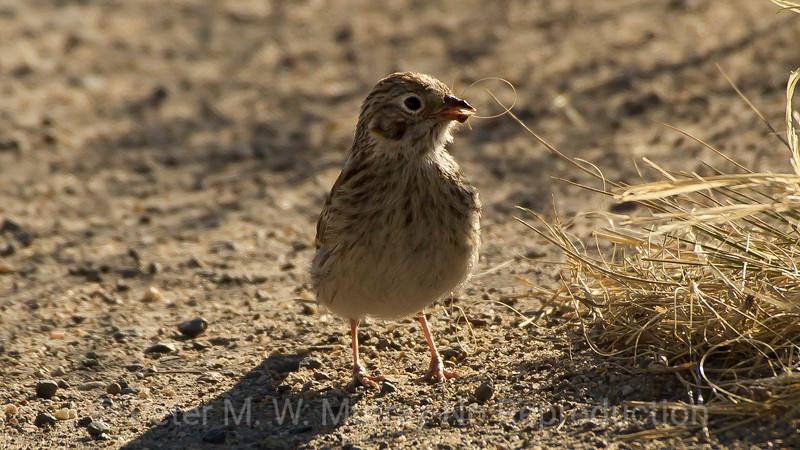 Vesper Sparrow.