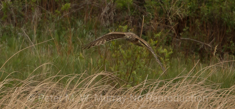 Northern Harrier with nest material