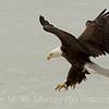 1 Eagle landing on ice