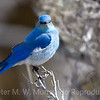 Mountain-Bluebird-in-profile