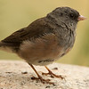 Pick Sided Junco Juvenile