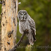 Large and fluffy Great Gray Owl