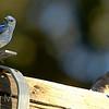 Bluebird and chicks